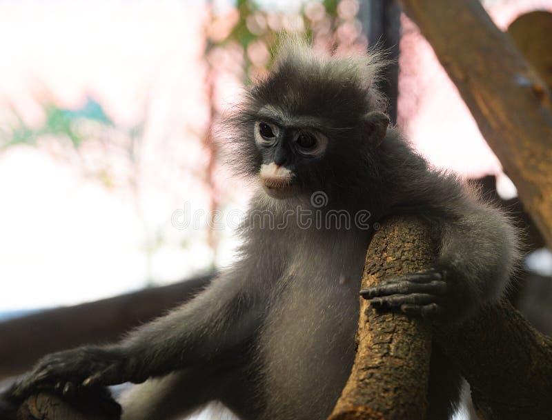 暗淡的叶猴 免版税库存照片