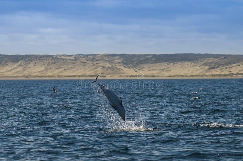 暗淡的海豚,巴塔哥尼亚,阿根廷 库存照片