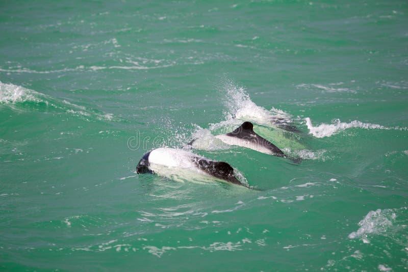 暗淡的海豚 免版税库存照片