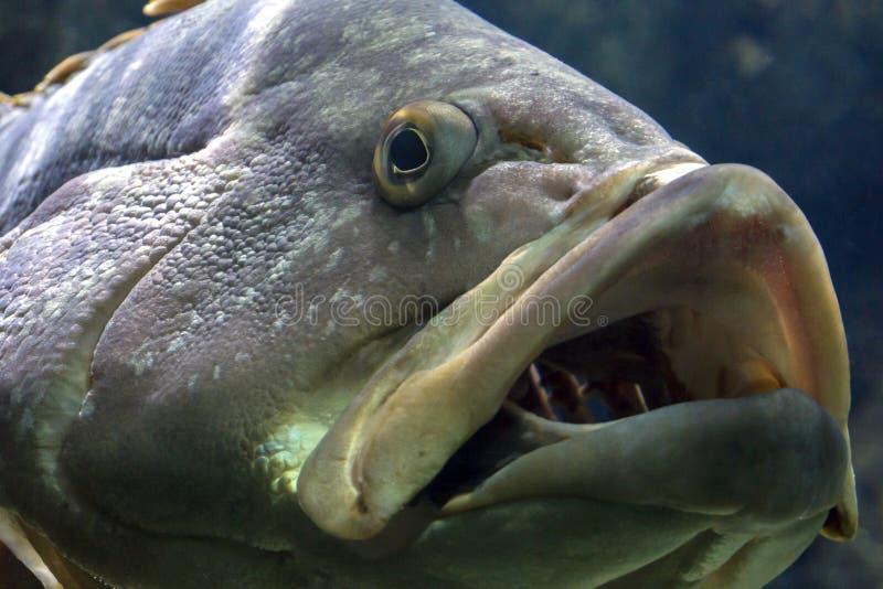 暗淡的石斑鱼或鲶科鱼在Cretaquarium的Marginatus在伊拉克利翁市,克利特海岛 免版税图库摄影