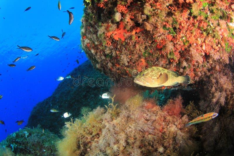 暗淡的石斑鱼 库存图片