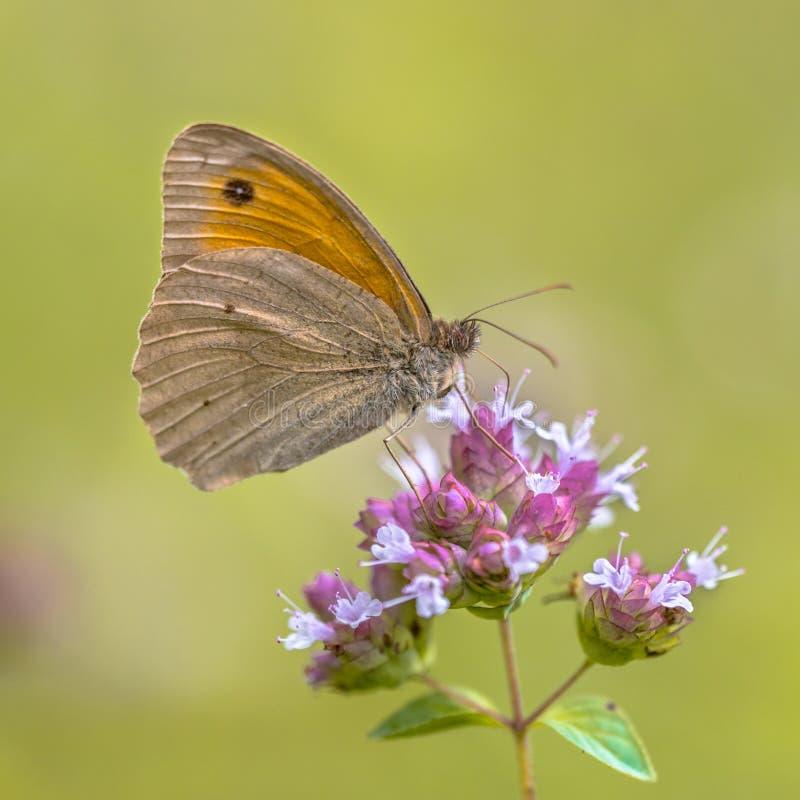 暗淡的草甸布朗蝴蝶 免版税库存图片