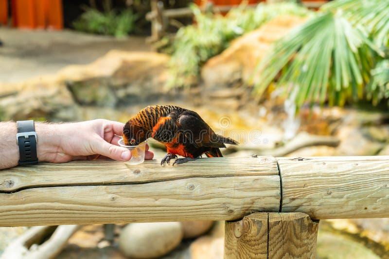 暗淡的鹦鹉,在沃本徒步旅行队公园的Pseudeos fuscata 免版税库存照片