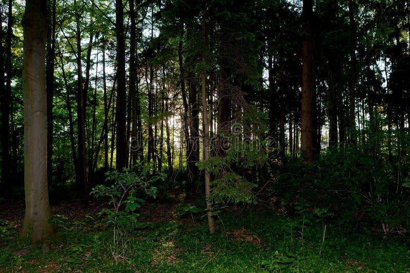 黑暗的万圣夜蠕动的松木 免版税图库摄影