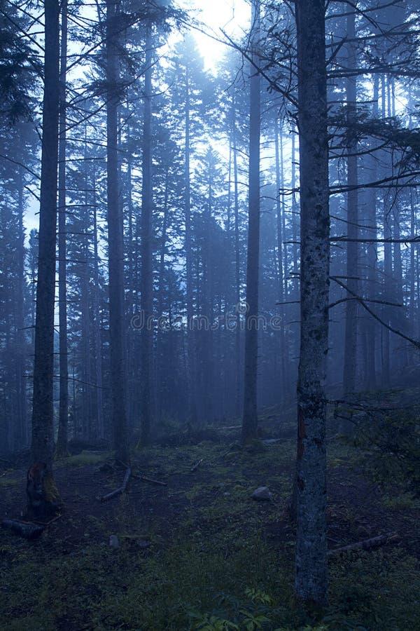 黑暗的有雾的森林 图库摄影