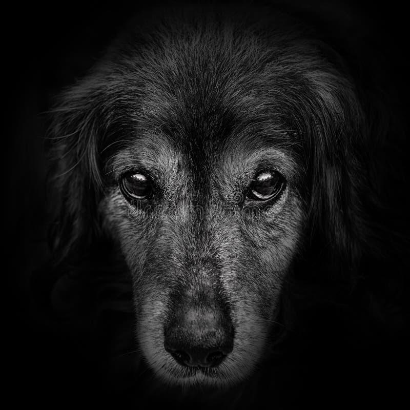 黑暗的枪口西班牙猎狗狗特写镜头 库存照片