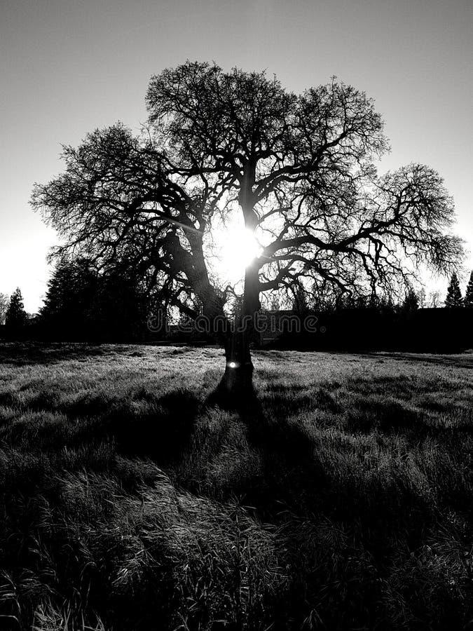 黑暗的橡木 免版税库存照片