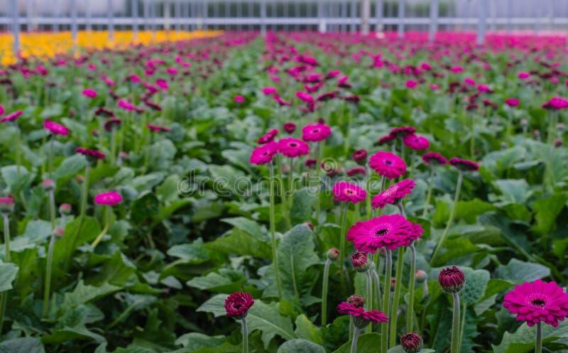 黑暗的紫罗兰在玻璃温室上色了大丁草花 免版税库存照片