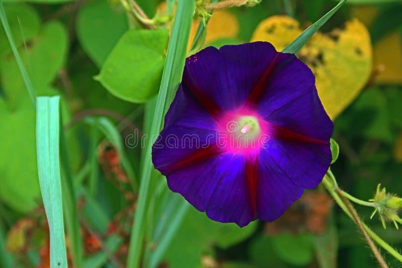 黑暗的紫色牵牛花 图库摄影