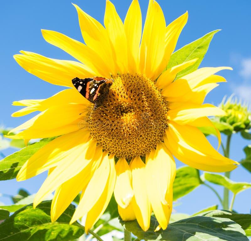 黑暗的蝴蝶和进展的sunflowe 库存图片