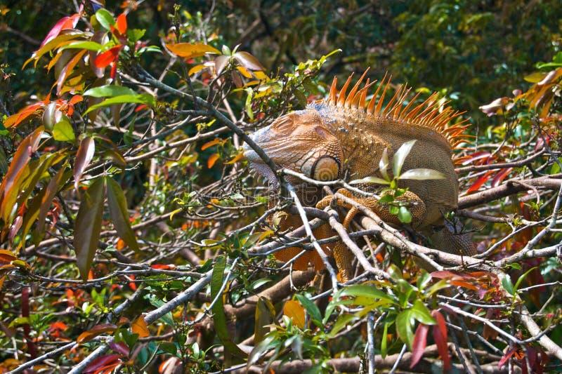 暗藏的橙色鬣鳞蜥 免版税库存照片