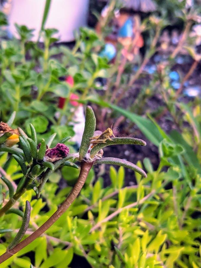 暗藏的蚂蚱在庭院里 库存图片