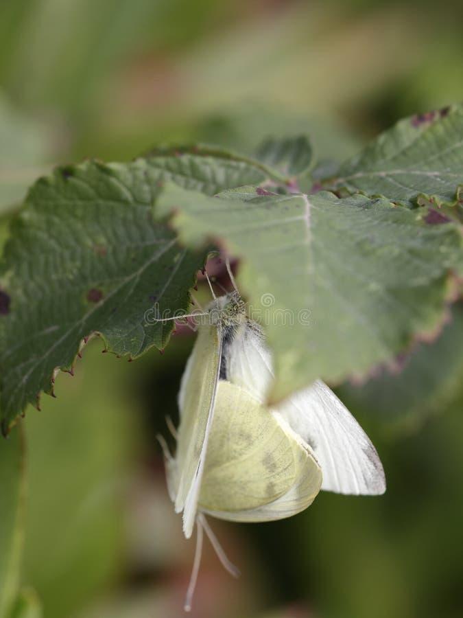 暗藏的蝴蝶联接 库存照片
