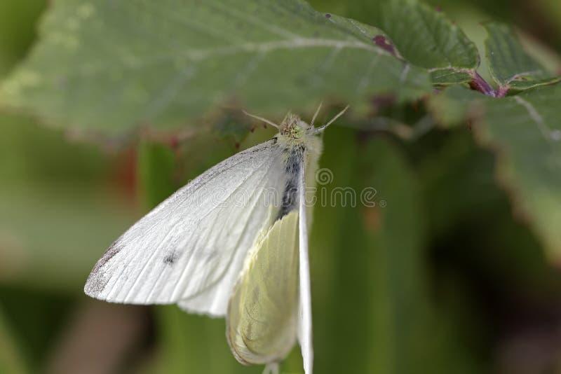 暗藏的蝴蝶联接 免版税库存图片