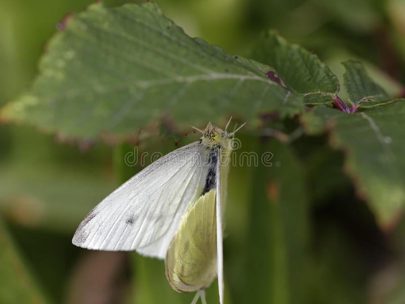 暗藏的蝴蝶联接 免版税库存照片
