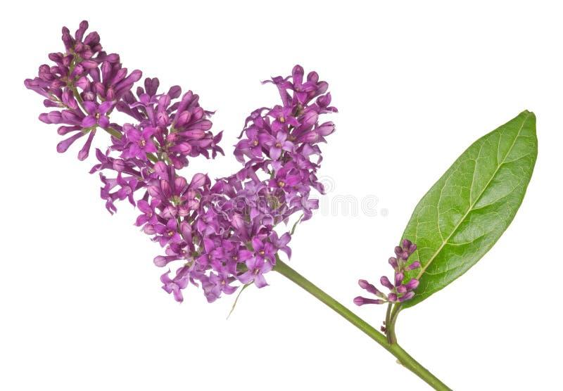 黑暗被隔绝的淡紫色开花和叶子 免版税库存图片
