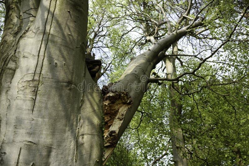暴雨和大风破坏的山毛榉树 免版税库存照片