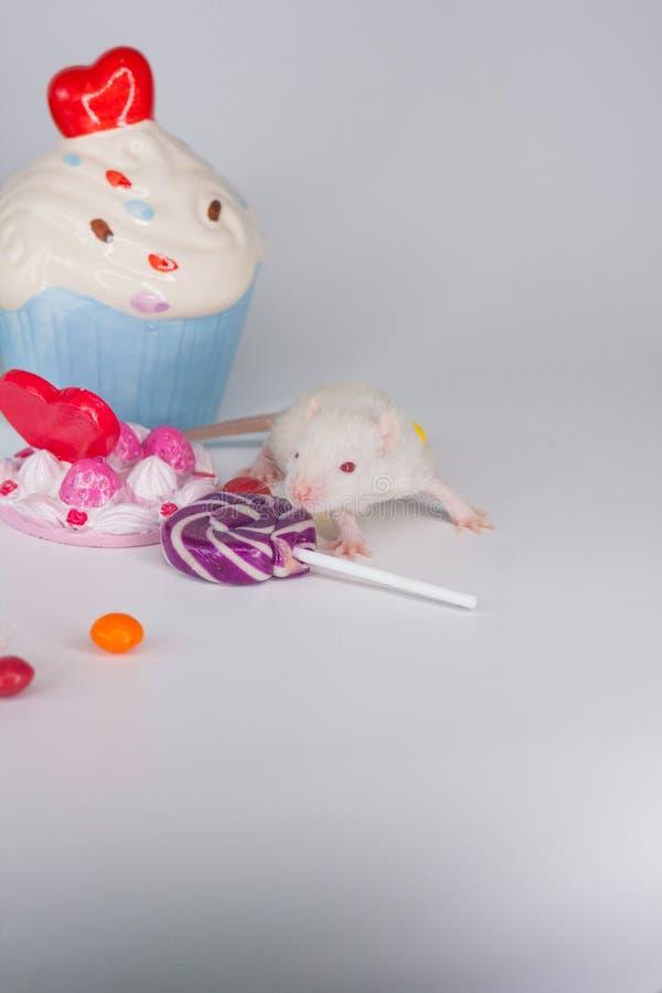 暴食的概念 在五颜六色的甜点背景的鼠  免版税库存照片