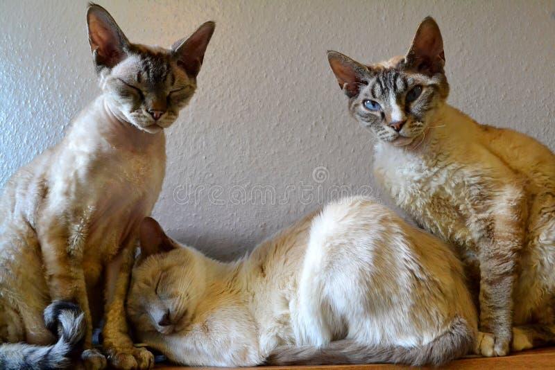 暹罗和德文郡雷克斯猫 免版税图库摄影