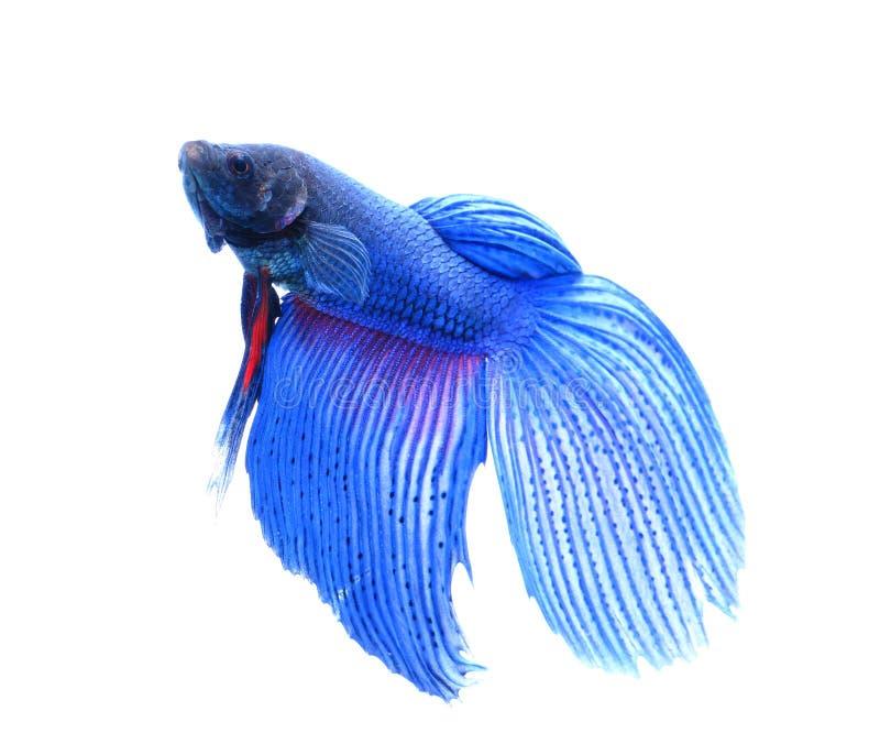 暹罗战斗的鱼, betta隔绝在白色backgroundà ¹ ƒ 库存照片