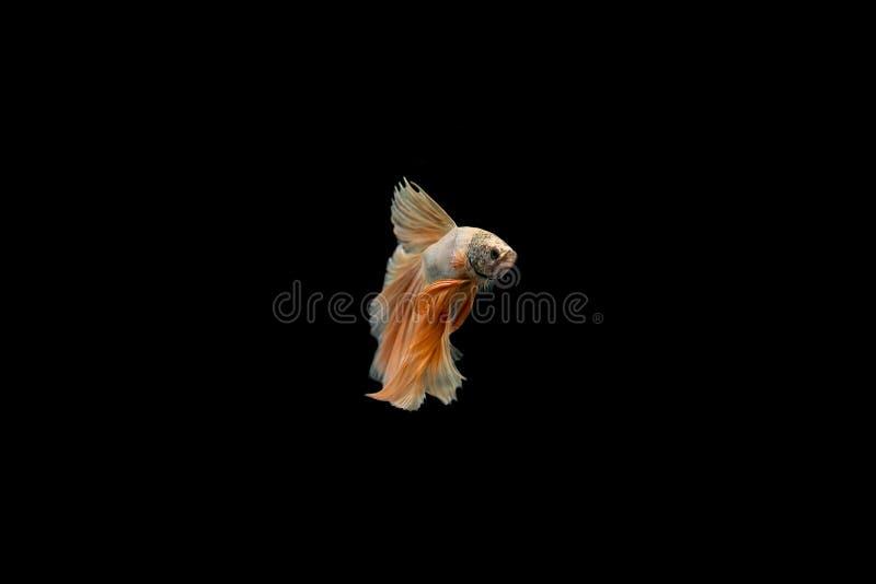暹罗战斗的鱼, Betta splendens染黄飞翅尾巴 库存照片