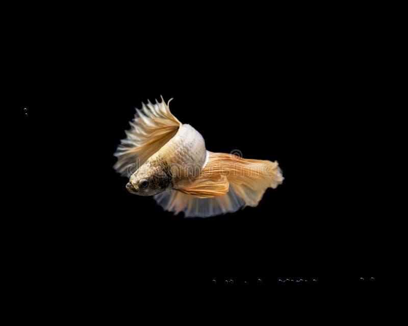暹罗战斗的鱼, Betta splendens染黄飞翅尾巴 免版税库存照片