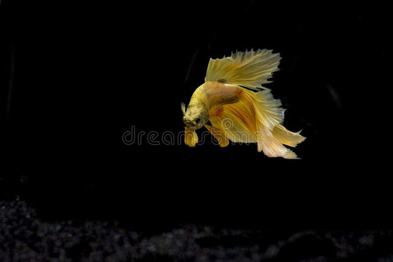 暹罗战斗的鱼, Betta splendens红色身体 免版税库存照片