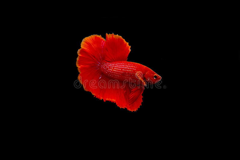 暹罗战斗的鱼, Betta splendens 免版税库存图片