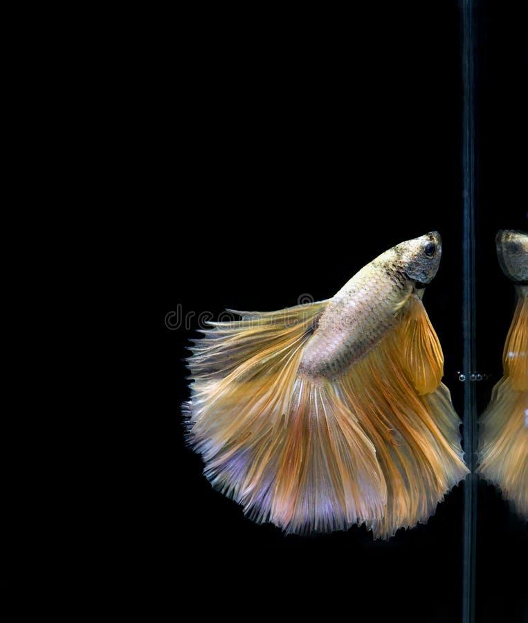 暹罗战斗的鱼, Betta splendens 库存图片