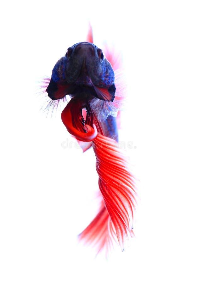 暹罗战斗鱼, betta查出在空白背景 库存照片