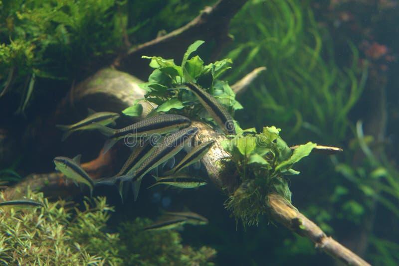 暹罗海藻食者在里斯本Oceanarium 库存照片