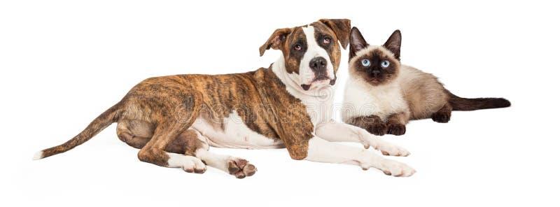 暹罗猫和被混合的品种狗 免版税库存照片