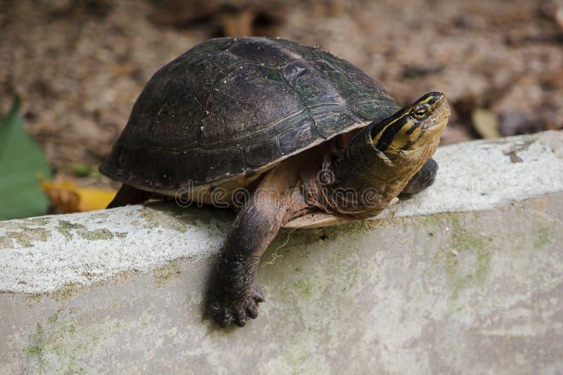 暹罗箱子水龟 塑造象乌龟,但是与弯曲的更高 库存照片