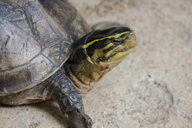 暹罗箱子水龟 塑造象乌龟,但是与弯曲的更高 库存图片