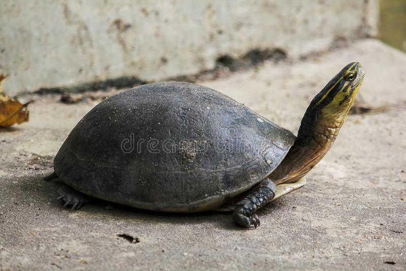 暹罗箱子水龟 塑造象乌龟,但是与弯曲的更高 图库摄影