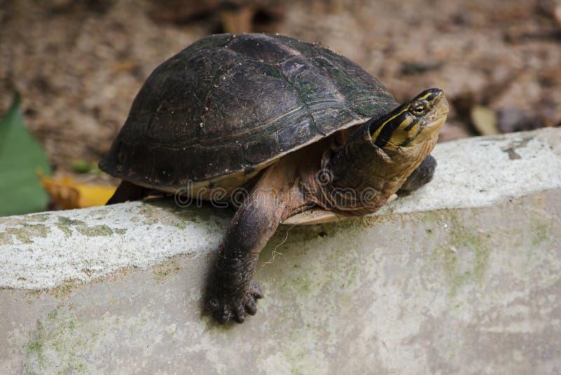 暹罗箱子水龟 塑造象乌龟,但是与弯曲的更高 免版税图库摄影
