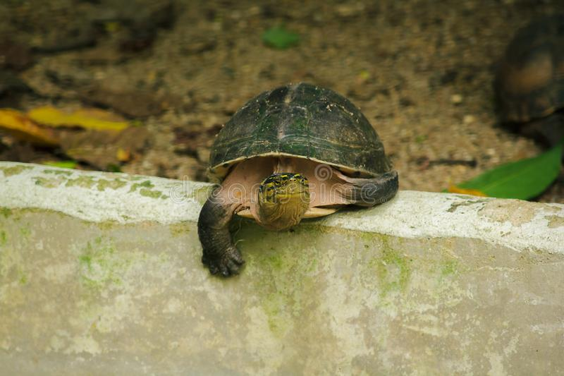 暹罗箱子水龟 塑造象乌龟,但是与弯曲的更高 免版税库存照片