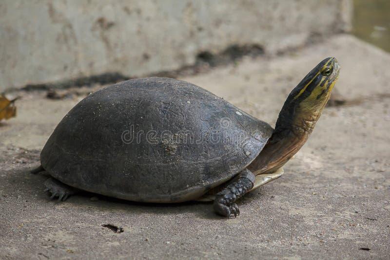 暹罗箱子水龟 塑造象乌龟,但是与弯曲的更高 免版税库存图片