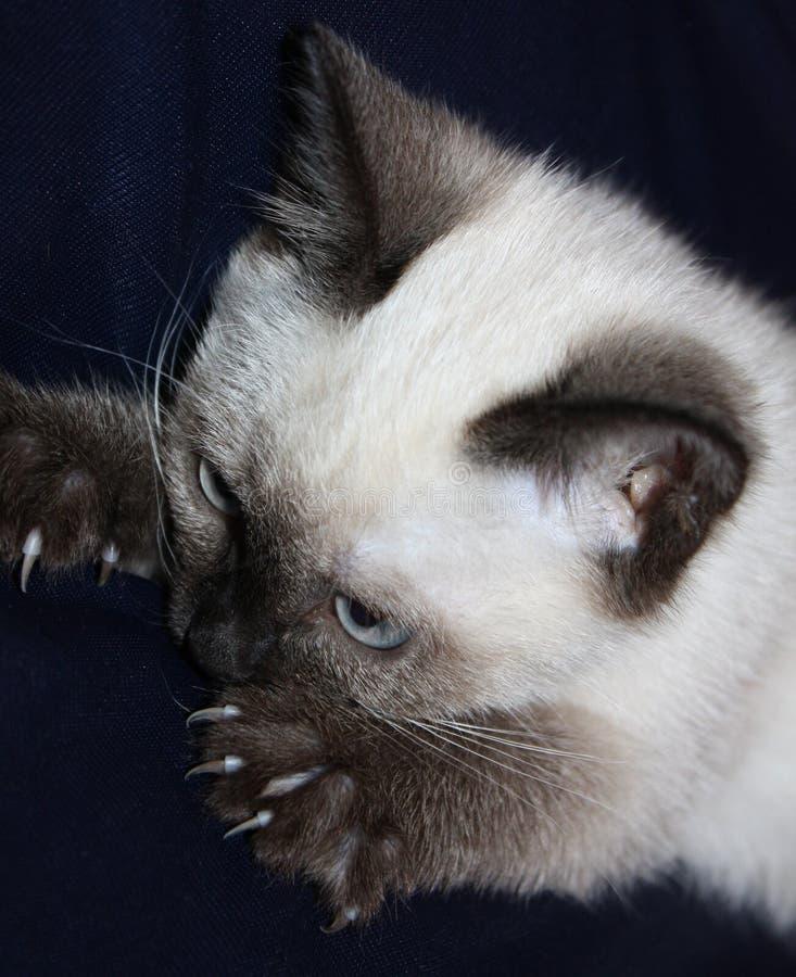 暹罗语的小猫 免版税图库摄影