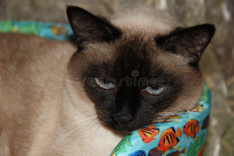 暹罗语的猫 宠物 动物界 库存图片