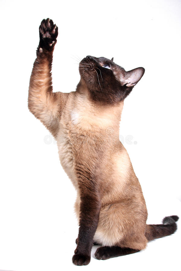 暹罗语的猫 库存照片