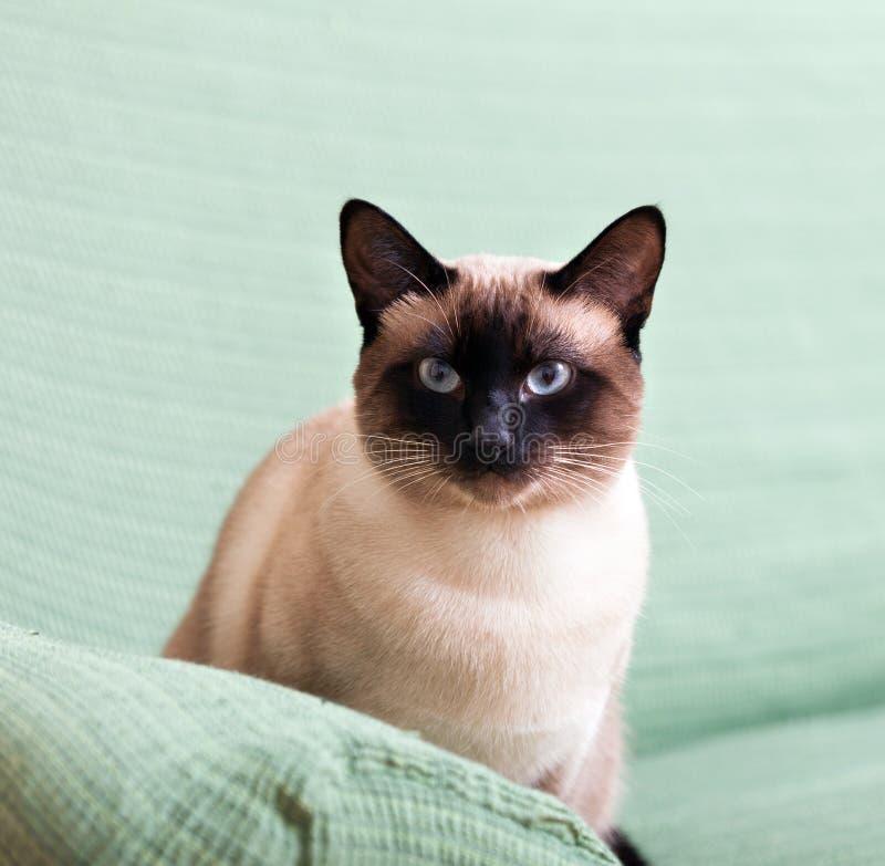 暹罗语美丽的猫 图库摄影