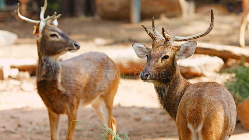 暹罗语deers的eld s 库存图片