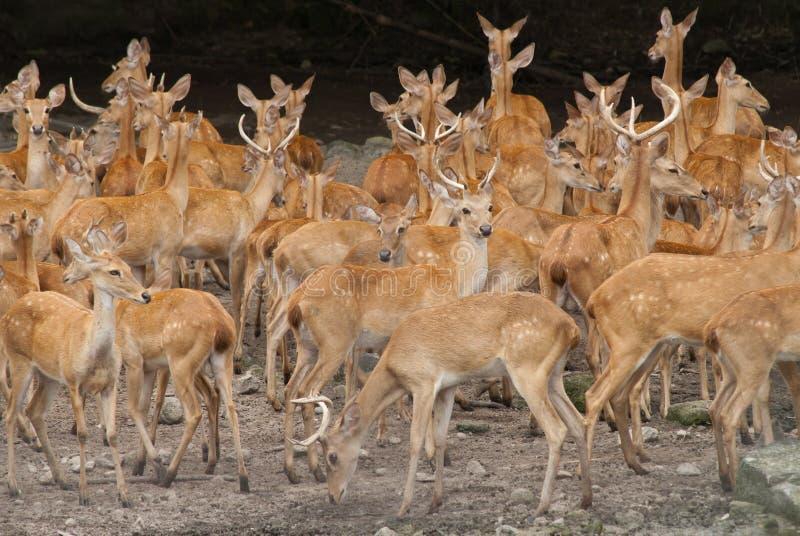 暹罗Eld的鹿 图库摄影