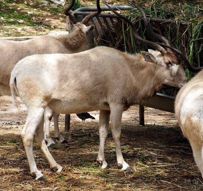 曲角羚羊、白色羚羊或者曲角羚羊Nasomaculatus 免版税图库摄影