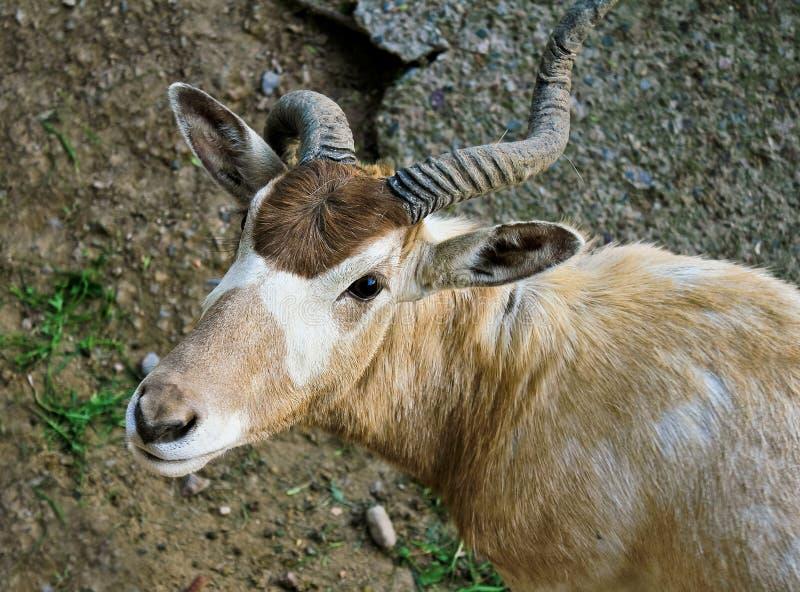 曲角羚羊羚羊nasomaculatus 免版税库存照片