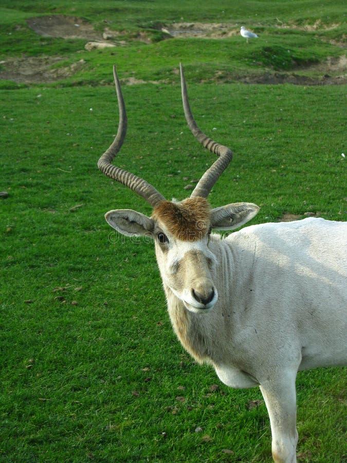 曲角羚羊,摆在为在serengeti的照相机非洲徒步旅行队 图库摄影
