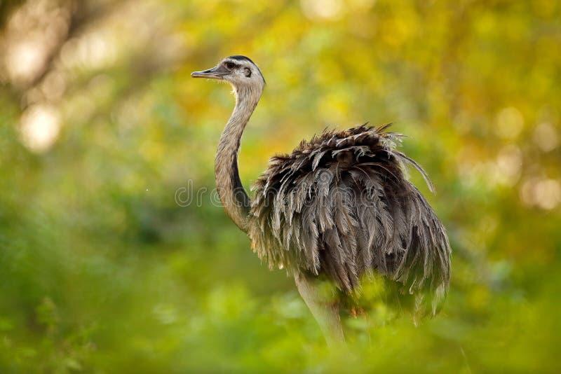 更加了不起的丽亚,美国的丽亚,与蓬松羽毛的大鸟,动物在自然栖所,平衡太阳,潘塔纳尔湿地,巴西 的丽亚 免版税库存图片