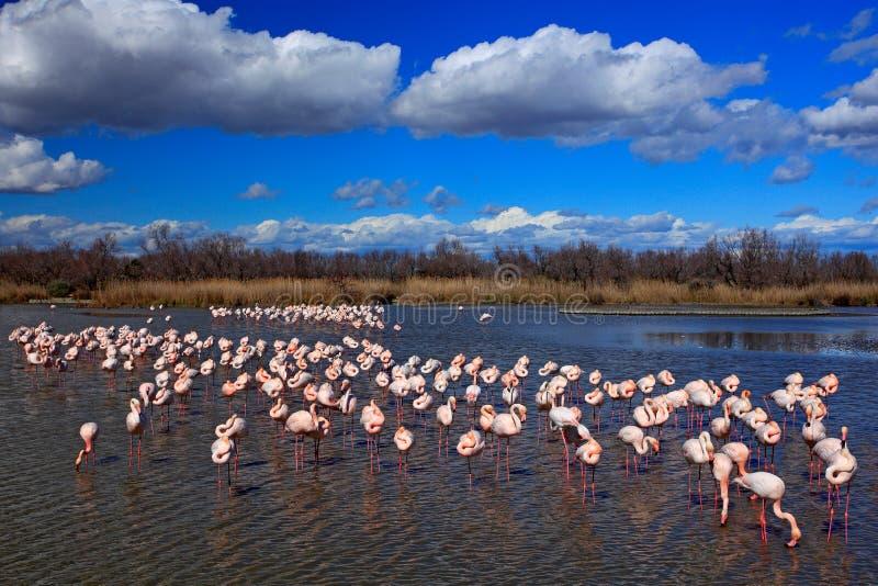 更加伟大的火鸟, Phoenicopterus ruber,好的桃红色大鸟群,跳舞在水中,动物在自然栖所 蓝天 库存图片