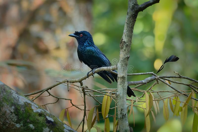 更加伟大的球拍被盯梢的燕卷尾- Dicrurus paradiseus,亚洲鸟特别在被延长与带子的外面尾羽 免版税库存图片